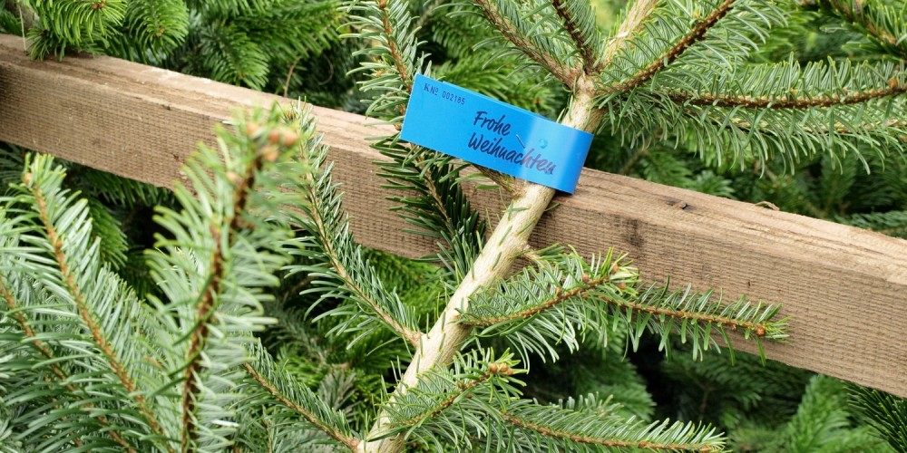 Frisch geschlagener Tannenbaum