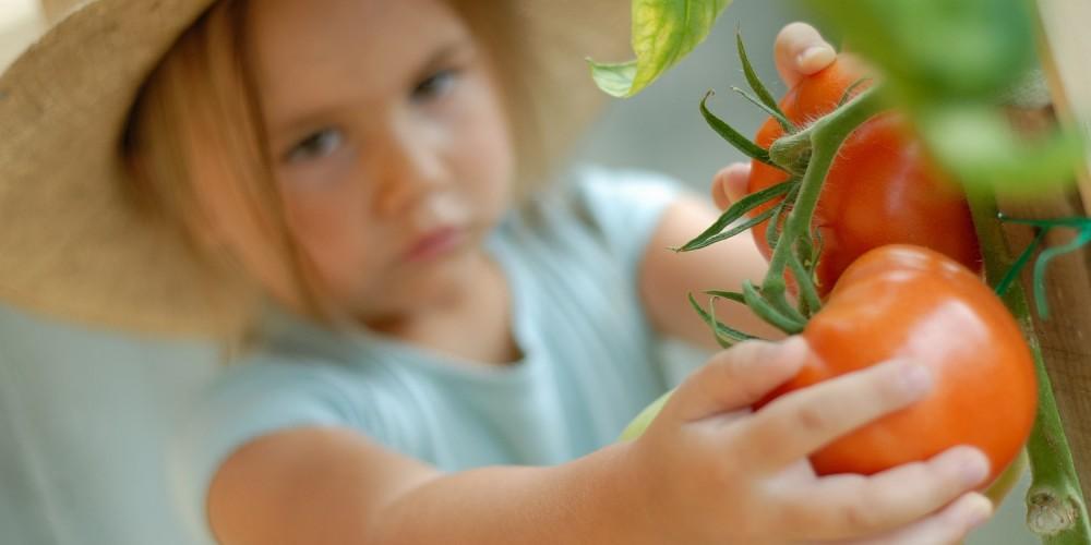 Kind pflückt eine Tomate im Garten