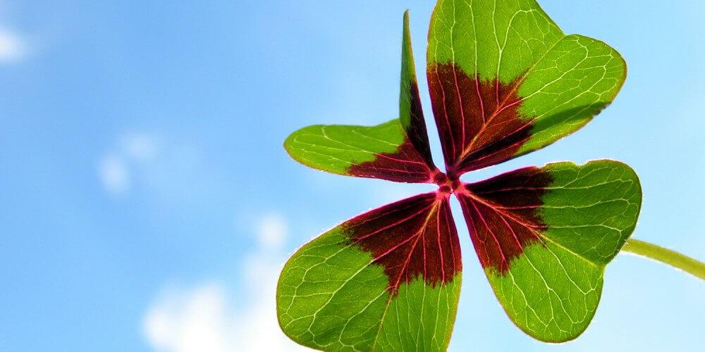 Vierblättriges Kleeblatt mit braunen Stellen wird in den Himmel gehalten