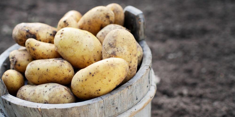 Frisch geerntete Kartoffeln mit Erde in Holzeimer auf Kartoffelfeld