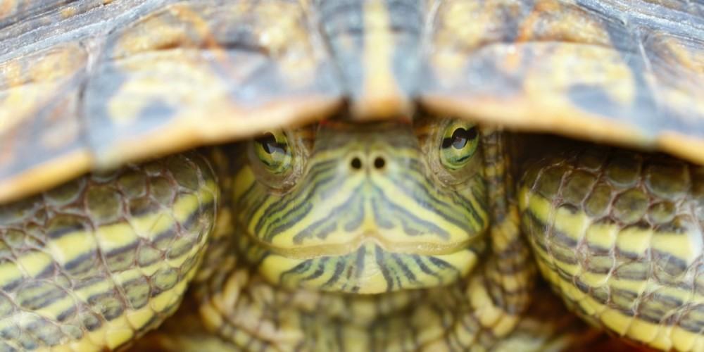Nahaufnahme Schildkröte schaut unter ihrem Panzer hervor